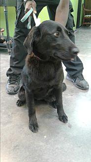 Mixed Breed (Medium)/Labrador Retriever Mix Dog for adoption in Barnwell, South Carolina - Penny
