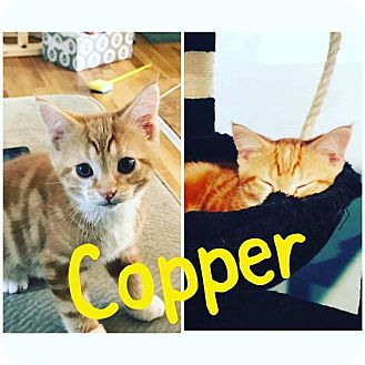 Domestic Shorthair Kitten for adoption in St Clair Shores, Michigan - Copper