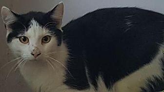 Domestic Mediumhair Cat for adoption in Morgantown, West Virginia - Bingo