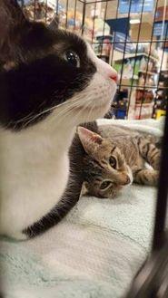 Domestic Shorthair/Domestic Shorthair Mix Cat for adoption in Burlington, North Carolina - Penelope