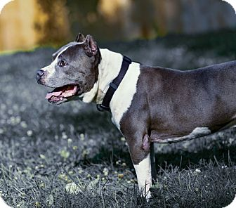 American Staffordshire Terrier Mix Dog for adoption in Madison, Wisconsin - Rocky (II)