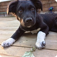 Adopt A Pet :: Sweet Pea--fostered in Mpls - Ada, MN