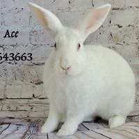 Adopt A Pet :: *ACE - Camarillo, CA