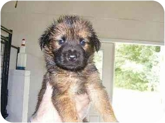 Chow Chow/Shepherd (Unknown Type) Mix Puppy for adoption in Alexandria, Virginia - Porter