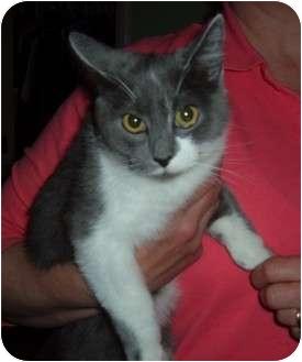 Domestic Shorthair Kitten for adoption in Troy, Ohio - Smokey