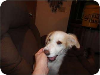 Collie Mix Puppy for adoption in Overland Park, Kansas - SHEERA