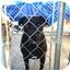 Photo 2 - Labrador Retriever Mix Dog for adoption in Sacramento, California - Cody good with cats