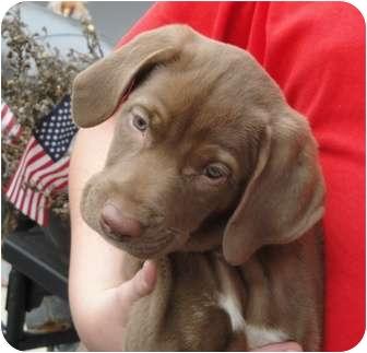 Pointer/Labrador Retriever Mix Puppy for adoption in Wood Dale, Illinois - Yazmina- ADOPTION PENDING!