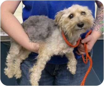 Yorkie, Yorkshire Terrier/Poodle (Miniature) Mix Dog for adoption in Baltimore, Maryland - Oscar