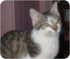 Domestic Shorthair Kitten for adoption in Raritan, New Jersey - Reef