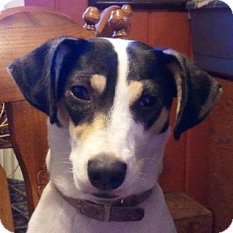Rat Terrier Mix Dog for adoption in Zanesville, Ohio - Sugar