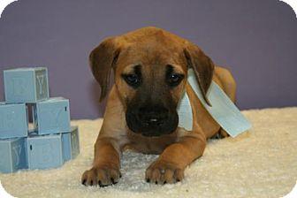 Labrador Retriever/Shepherd (Unknown Type) Mix Puppy for adoption in Flower Mound, Texas - Chandler