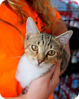 Domestic Shorthair Kitten for adoption in Groveland, Florida - Juliet