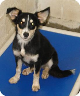 Australian Shepherd/Sheltie, Shetland Sheepdog Mix Dog for adoption in Liberty Center, Ohio - Caper