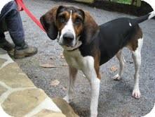 Treeing Walker Coonhound Mix Dog for adoption in Allentown, Pennsylvania - Bobo
