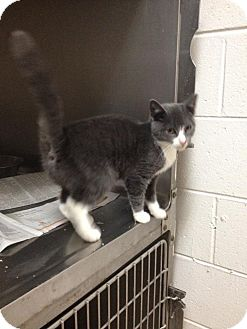 American Shorthair Kitten for adoption in Lancaster, Virginia - Ellen