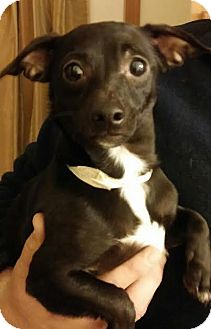 Chihuahua/Terrier (Unknown Type, Small) Mix Dog for adoption in Urbana, Ohio - Vicki