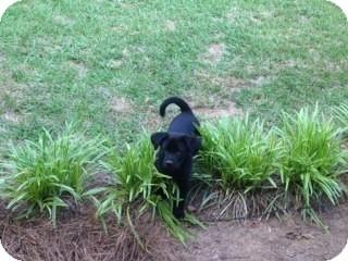 Labrador Retriever Mix Puppy for adoption in Portsmouth, New Hampshire - Dover-adoption pending
