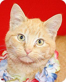 Domestic Shorthair Cat for adoption in Jackson, Michigan - Deputy