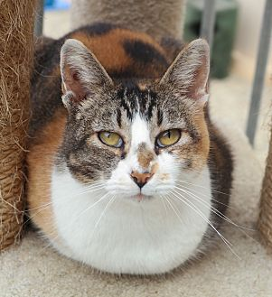 Calico Cat for adoption in San Pablo, California - FARRAH