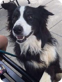 Border Collie Dog for adoption in Oliver Springs, Tennessee - Endor