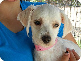 Maltese Mix Dog for adoption in Houston, Texas - Callie