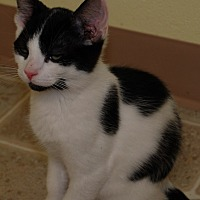 American Wirehair Kitten for adoption in Salem, West Virginia - Mickey Mouse