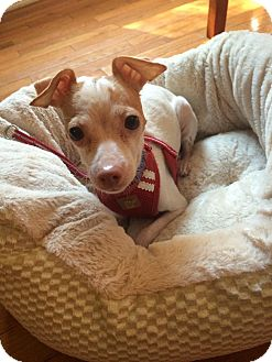 Chihuahua Dog for adoption in Chicago, Illinois - Lydia