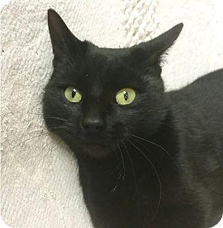 Domestic Shorthair Cat for adoption in Albion, New York - Elsa