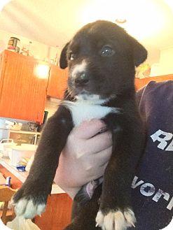 Border Collie/Retriever (Unknown Type) Mix Puppy for adoption in Duchess, Alberta - Spunk