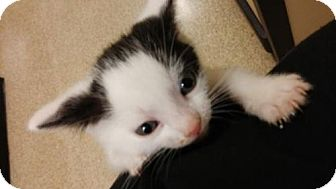 Domestic Mediumhair Kitten for adoption in Livonia, Michigan - C Litter-Toby ADOPTED