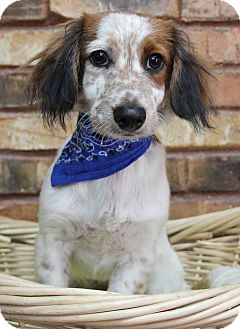 Dachshund Mix Dog for adoption in Benbrook, Texas - Chance