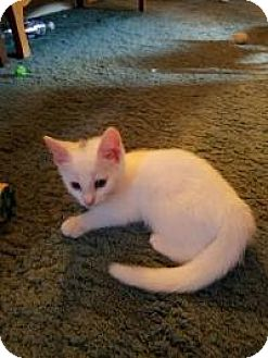 Domestic Shorthair Kitten for adoption in Breinigsville, Pennsylvania - Smudge