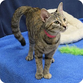 Domestic Mediumhair Kitten for adoption in McCormick, South Carolina - Fluffy