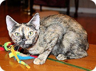 Domestic Shorthair Kitten for adoption in Morganton, North Carolina - Reese