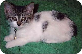 Domestic Mediumhair Kitten for adoption in Owatonna, Minnesota - Dottie