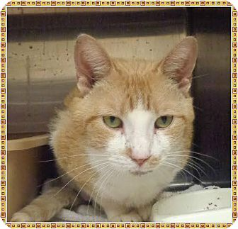 Domestic Shorthair Cat for adoption in Marietta, Georgia - LOGAN (R)