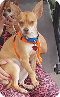 Chihuahua Mix Dog for adoption in Bartonsville, Pennsylvania - Bugsey