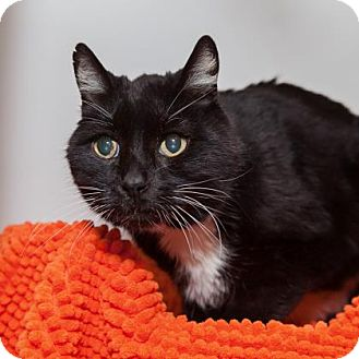 Domestic Shorthair Cat for adoption in Mission Hills, California - Eustace