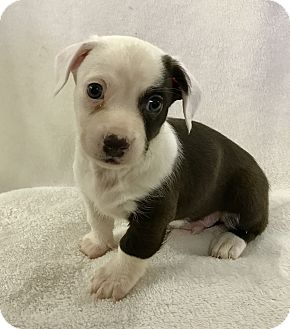 Dachshund Mix Puppy for adoption in Redding, California - Snickers Candy Bar litter