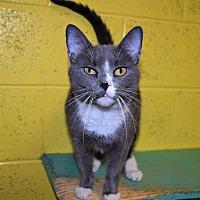 Adopt A Pet :: Boots - Pottsville, PA