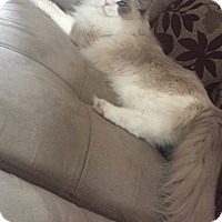 Adopt A Pet :: Simon( a lover 4 paw  declawed - Sterling Hgts, MI