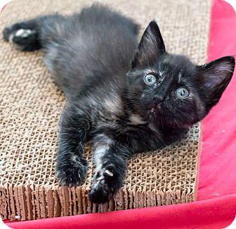 Domestic Shorthair Kitten for adoption in Chicago, Illinois - Peirogi