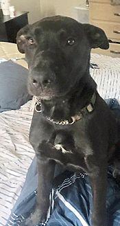 Labrador Retriever Mix Puppy for adoption in Loxahatchee, Florida - Charlie 2