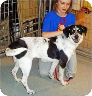 English Springer Spaniel/Labrador Retriever Mix Dog for adoption in Osseo, Minnesota - Missy
