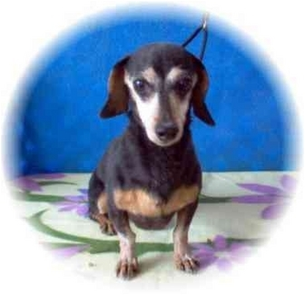 Dachshund Dog for adoption in Tucson, Arizona - Zoe