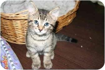 Domestic Shorthair Kitten for adoption in Mississauga, Ontario - Tiger