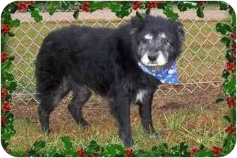 Chow Chow/Retriever (Unknown Type) Mix Dog for adoption in Sullivan, Missouri - Charley