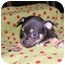 Photo 1 - Chihuahua Mix Puppy for adoption in San Diego, California - Sanders