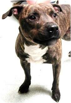 American Staffordshire Terrier Mix Dog for adoption in Seattle, Washington - Romeo